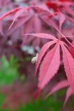 Closeup av snigeln på lönnträd i trädgården Fotografering för Bildbyråer