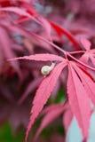 Closeup av snigeln på lönnträd i trädgården Arkivfoto