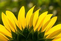 Closeup av solroskronbladet Royaltyfri Foto