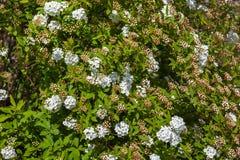 Closeup av spireaen för brudkrona för blomningbuske, blom- backgrou Royaltyfria Foton