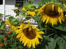 Closeup av stora gula solrosor i trädgård royaltyfria foton