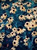 Closeup av Svart-synade Susans i Wilmington, Delaware fotografering för bildbyråer
