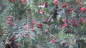 Closeup av Taxusbaccataen eller européidegransträ med mogna röda kottar arkivfilmer