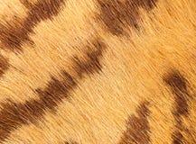 Closeup av tigerpäls med verklig textur för härliga band av anim Arkivbilder