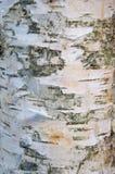 Closeup av trätextur av den naturliga stammen för vit björk med linjen Arkivbilder