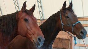 Closeup av två hästar i arenan som ser utvändig royaltyfria foton