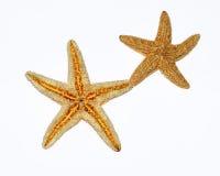 Sjöstjärnor kopplar ihop på vitbakgrund Fotografering för Bildbyråer