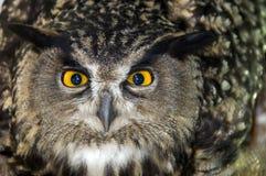 Closeup av ugglahuvudet Fotografering för Bildbyråer