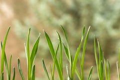 Closeup av ung vitlök Royaltyfria Bilder