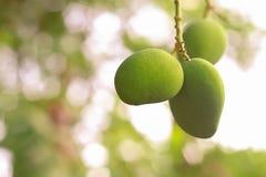 Closeup av unga rå mango på ett mangoträd Royaltyfri Fotografi