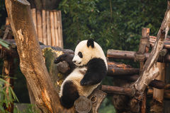 Closeup av ungt pandasammanträde i träd royaltyfri foto