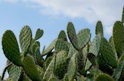Closeup av växten av det taggiga päronet Royaltyfri Foto