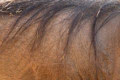 Closeup av vårtsvinet tillbaka med långa hår royaltyfria foton