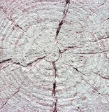 Closeup av varm plan vit målad wood textur Årliga cirklar av trädstubben Arkivbilder