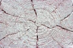 Closeup av varm plan vit målad wood textur Årliga cirklar av trädstubben Royaltyfria Foton