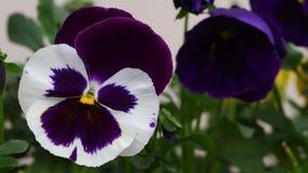 Closeup av violeten i en trädgård lager videofilmer