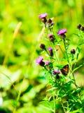 Closeup av violetta blommor för äng Vildblomma i skog Fotografering för Bildbyråer