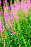 Closeup av violetta blommor för äng Vildblomma i skog Royaltyfria Bilder