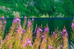 Closeup av violetta blommor för äng Vildblomma på sjön Arkivfoto