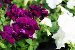Closeup av violetta och vita blommor royaltyfri bild