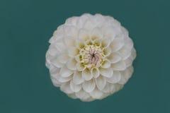 Closeup av vit dahliablom Arkivfoto