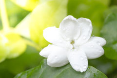 Closeup av vita Jasmine Flower Arkivbild