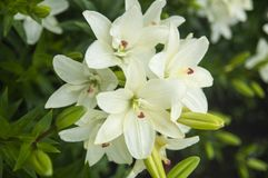 Closeup av vita lillies med sidor royaltyfria foton