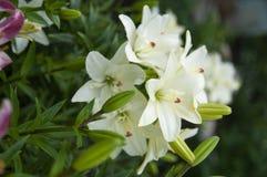 Closeup av vita lillies med sidor royaltyfri foto
