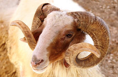 Closeup of a Awassi sheep Stock Photo