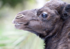 Closeup of Baby Camel. S head from the side Stock Photo