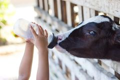 Baby cow feeding on milk bottle by hand child royalty free stock image