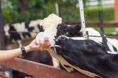 Closeup - Baby cow feeding on milk bottle by hand man. In Thailand rearing farm Stock Photos