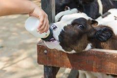 Baby cow feeding on milk bottle by hand man in Thailand rearing farm. Closeup - Baby cow feeding on milk bottle by hand man in Thailand rearing farm Royalty Free Stock Photos