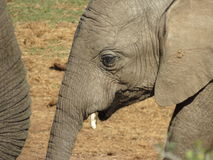 Closeup of a baby elephant. A closeup of a baby elephant in the Addo Elephant National Park, in South Africa Stock Photos