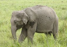 Closeup of baby elephant Royalty Free Stock Photos
