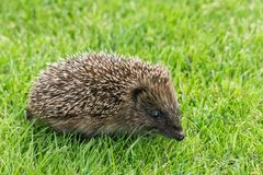 Baby European hedgehog on lawn. Closeup of baby European hedgehog on fresh lawn royalty free stock photography