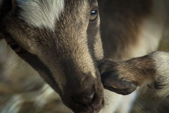 Closeup Baby Goat Stock Photos