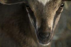 Closeup Baby Goat Stock Photography