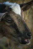 Closeup Baby Goat Royalty Free Stock Image