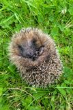 Baby hedgehog curled up in ball on grass. Closeup of baby hedgehog curled up in ball on grass royalty free stock image