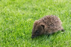 Baby hedgehog on fresh lawn with copy space. Closeup of baby hedgehog on fresh lawn with copy space stock image