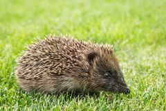 Baby hedgehog searching for food on lawn. Closeup of baby hedgehog searching for food on lawn royalty free stock photo