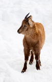 Closeup of baby Ibex. Alone in the snow Royalty Free Stock Photo
