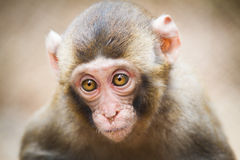 Closeup of a baby Japanese macaque Royalty Free Stock Photo