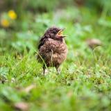 Closeup of a baby male Common Blackbird Royalty Free Stock Photos
