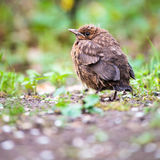 Closeup of a baby male Common Blackbird Royalty Free Stock Photography