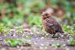 Closeup of a baby male Common Blackbird Stock Photos