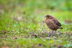 Closeup of a baby male Common Blackbird Royalty Free Stock Image