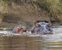 Closeup of baby and mother hippo heads swimming in river. In the Serengeti National Park, Tanzania royalty free stock image
