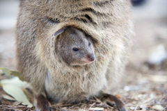 Closeup of Baby Quokka Royalty Free Stock Image